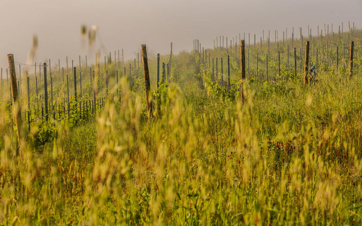 Poggio del Moro and the choice of making wine following a holistic approach