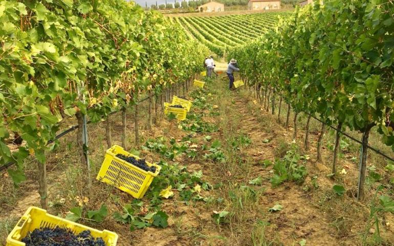 Vinologi: la vendemmia a Poggio del Moro, sempre un'emozione!