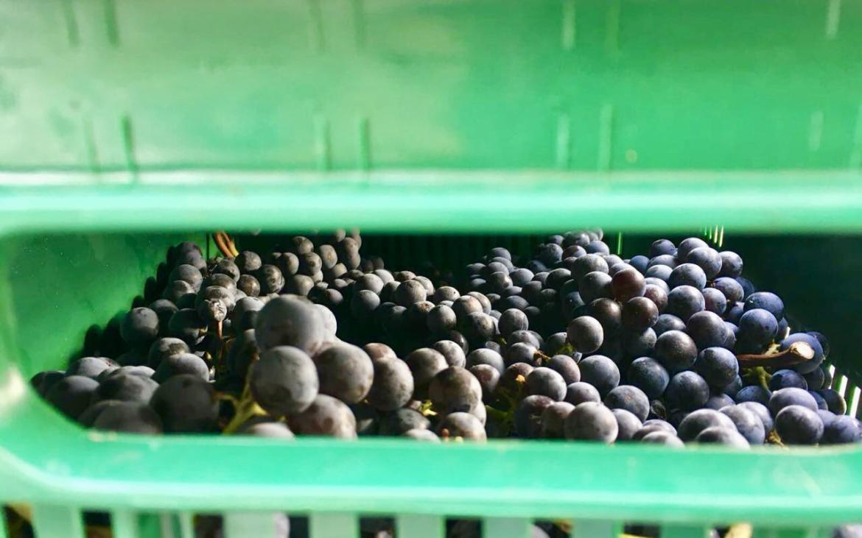 The harvest at Poggio del Moro: a magical and inimitable moment